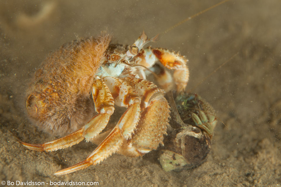 BD-110416-Lysekil-17-Pagurus-bernhardus-(Linnaeus.-1758)-[Hermit-crab.-Eremitkrabba].jpg